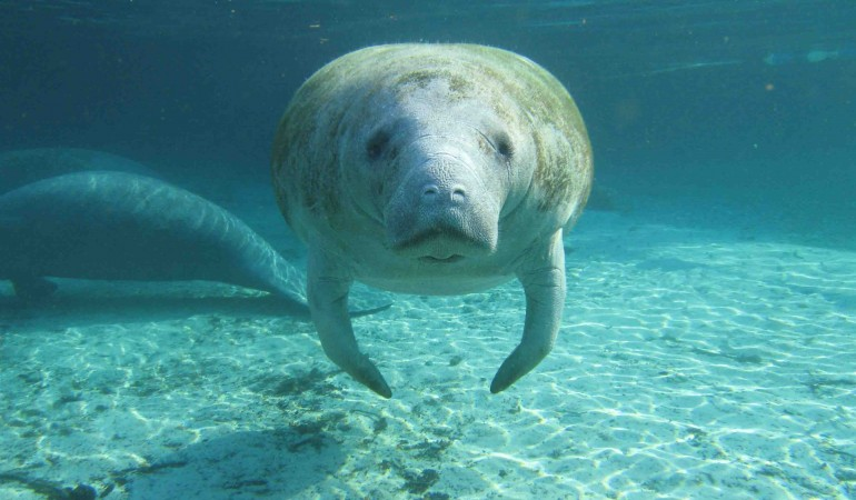 Manatees Saved from Extinction